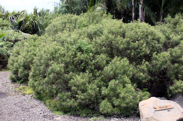 Monarrhenus pinifolius endémique de la Réunion