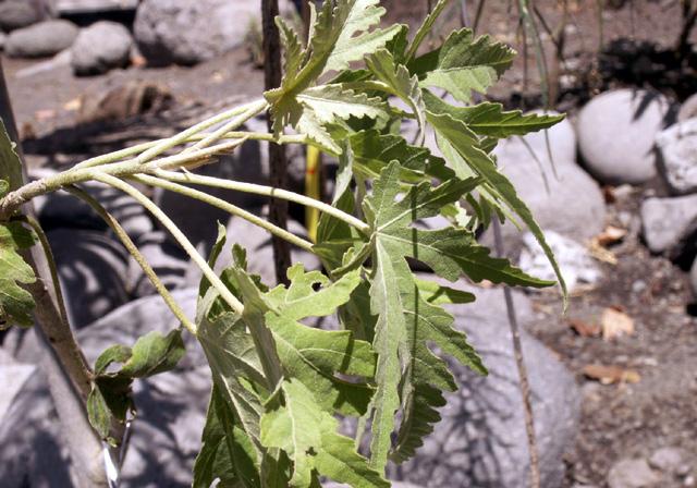 Bois de senteur blanc - Ruizia cordata Cav. Endémique La Réunion