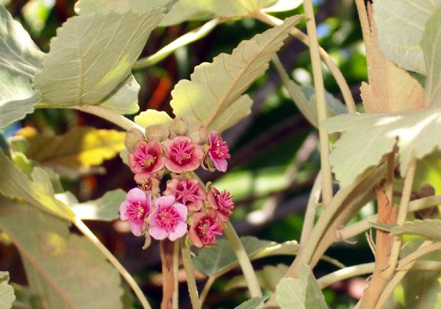 Fleurs : Bois de senteur blanc - Ruizia cordata Cav. Endémique La Réunion