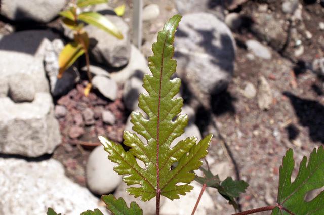 Feuilles juvéniles Bois de senteur bleu - Dombeya populnea espèce endémique de La Réunion
