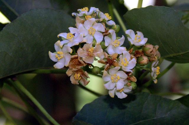Fleurs Bois de senteur bleu - Dombeya populnea espèce endémique de La Réunion