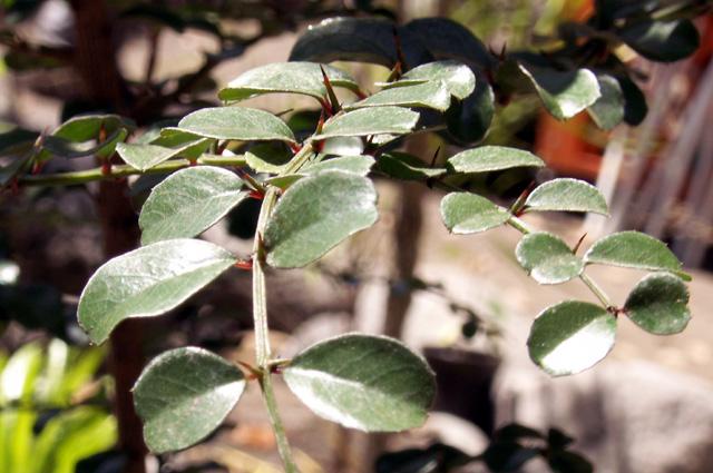 Scutia myrtina (Burm. f.) Kurz. Bois de sinte.
