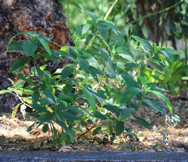 Bois de violon Bois de Charles Bois de crève coeur Acalypha integrifolia