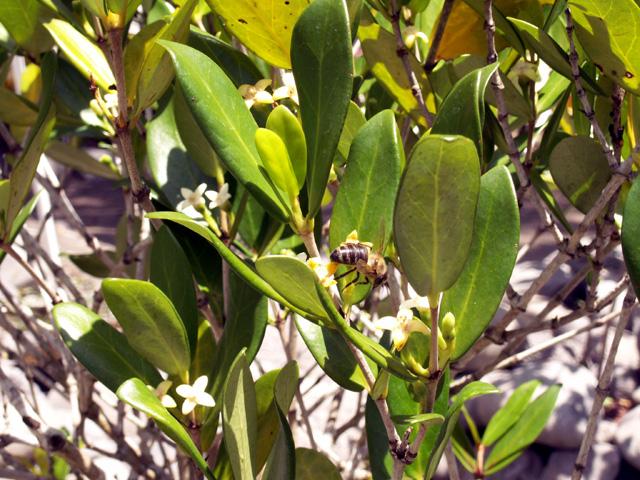 Bois mussard - Pyrostria commersonii Espèce endémique de la Réunion, Maurice
