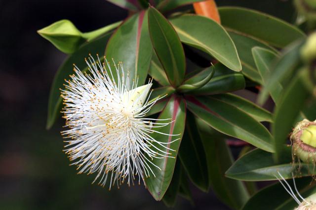 Fleur : Foetidia mauritiana Lam. Bois puant