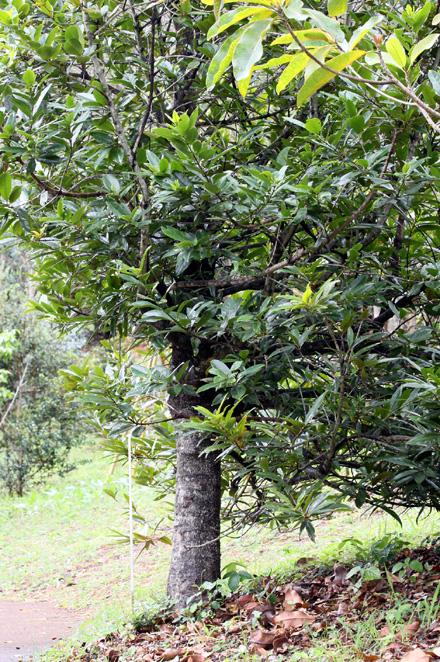 Bois rouge. Cassine orientalis.