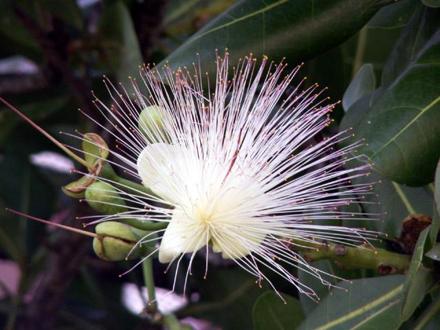 Bonnet de prêtre Barringtonia asiatica : fleur