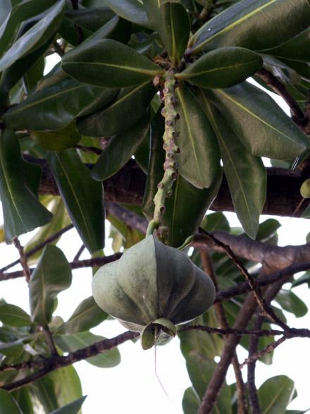 Bonnet de prêtre Barringtonia asiatica : fruit