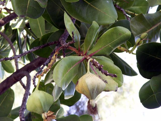 Bonnet de prêtre Barringtonia asiatica : fruits
