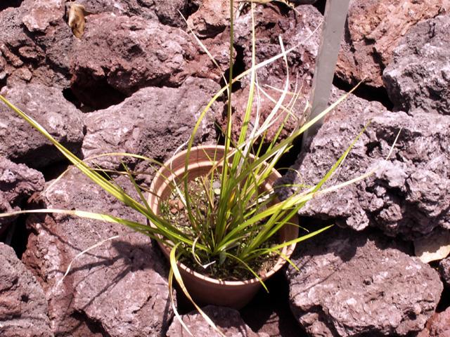 Carex wahlenbergiana Boott, espèce endémique La Réunion