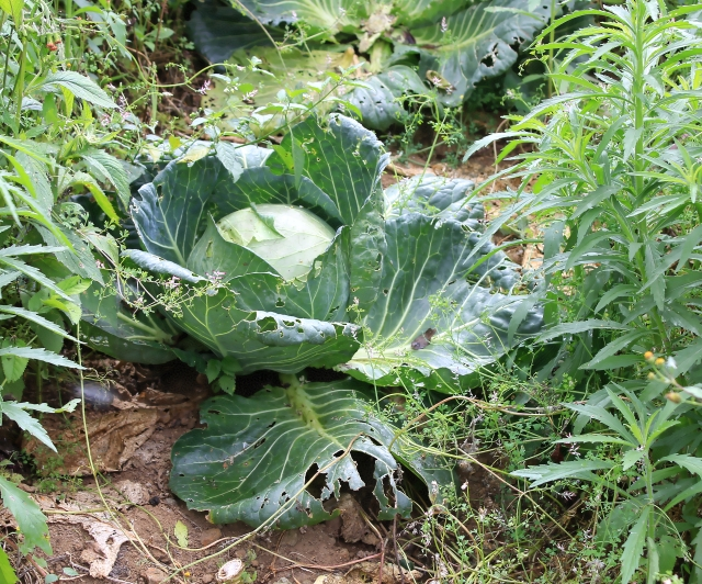 Brassica oleracea L. var. capitata L. Chou.
