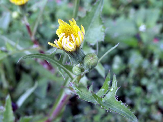 Fleur : Brède lastron ou Lastron piquant - Sonchus asper