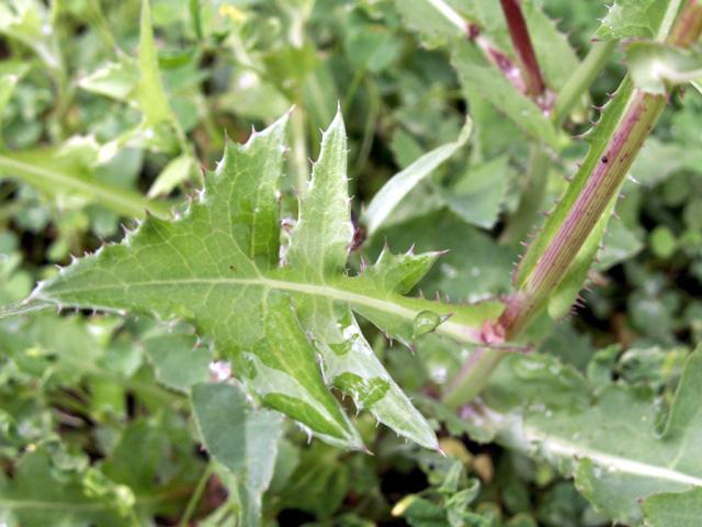 Feuilles : Brède lastron ou Lastron piquant - Sonchus asper