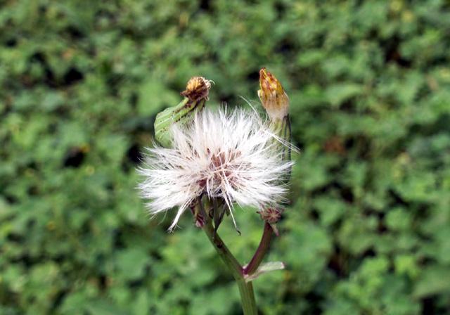 Fruit : Brède lastron ou Lastron piquant - Sonchus asper