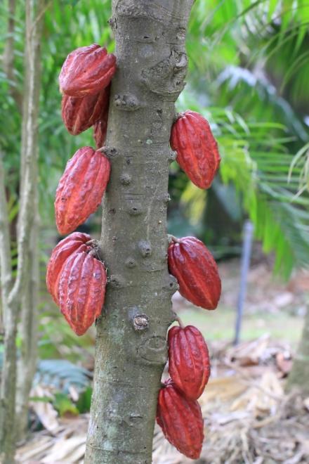 Cacaoyer cacao. Fruit : Cabosse. Theobroma cacao