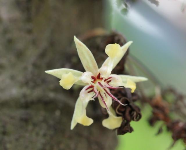 Theobroma cacao. Fleur.