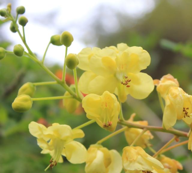 Caesalpinia sappan L.