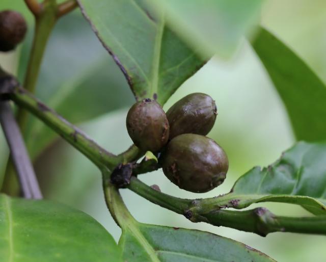 Coffea mauritiana Lam, Café marron Endémique La Réunion et Maurice