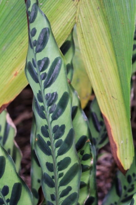 Calathea lancifolia Boom.