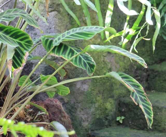 Calathea zebrina (Sims) Lindl.