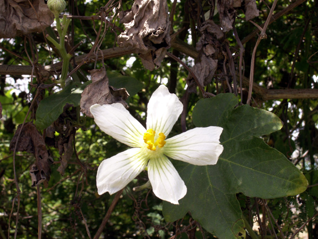 Fleur : Calebasse sauvage ou melon sauvage. Lagenaria sphaerica