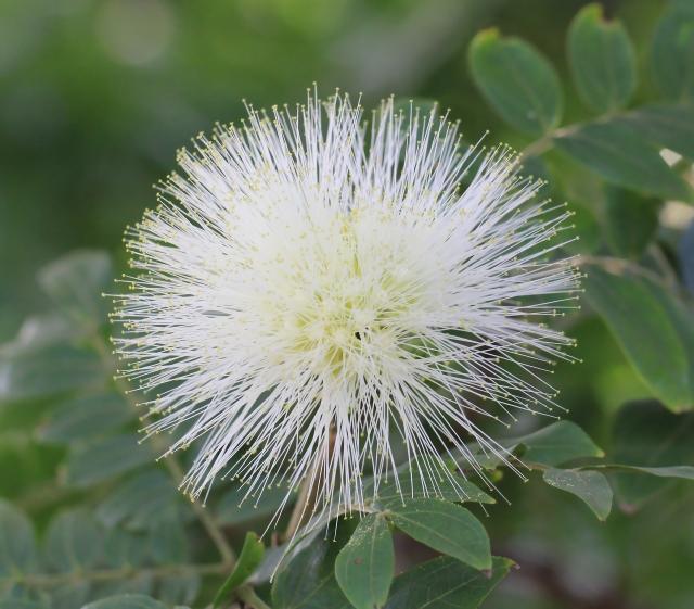 Calliandra haematocephala 'Alba'