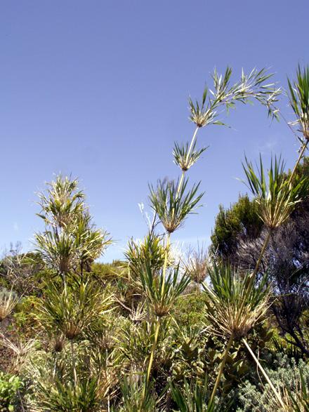 Calumet. Nastus borbonicus flore endémique de La Réunion