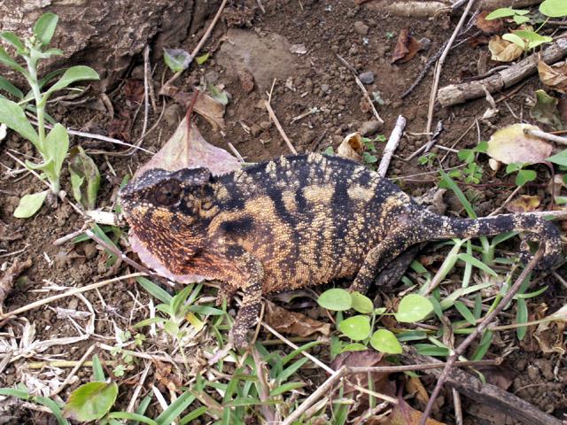 Caméléon de La Réunion