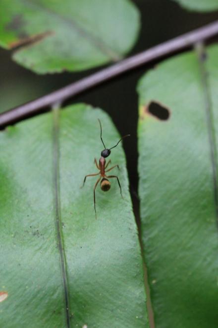 Camponotus re01. Fourmi endémique de La Réunion.
