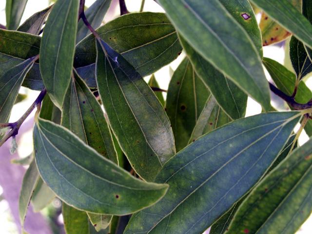 Cannelier de Ceylan ou Cannelle de Ceylan ou Cinnamome - Cinnamomum verum
