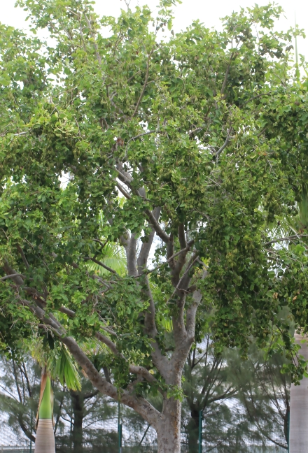 Carambole marron ou Arjan des Indes - Terminalia arjuna
