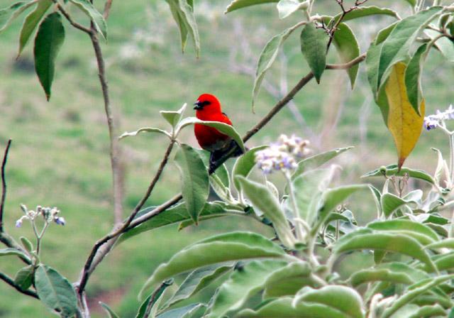 Cardinal Foudia madagascariensis