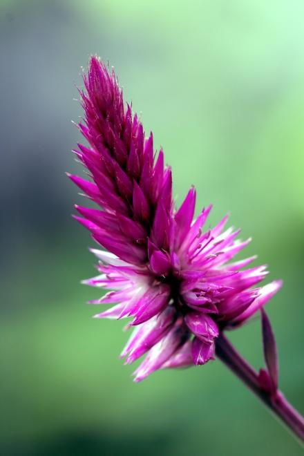Celosia argentea. Célosie argentée. Crête de coq.