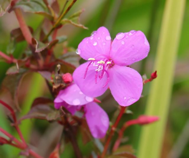 Fleur Centradenia inaequilateralis