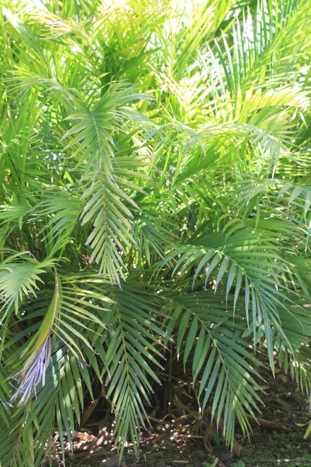 Chamaedorea cataractarum Mart. Palmier cascade.
