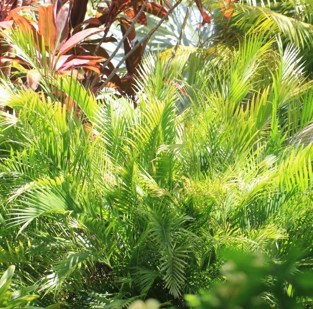 Chamaedorea cataractarum Mart.
