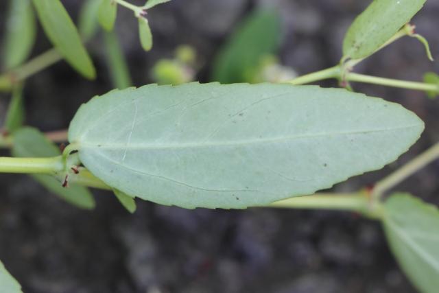 Euphorbia hypericifolia L. Feuille.