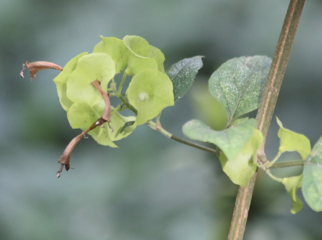 Fleur : Holmskioldia sanguinea.