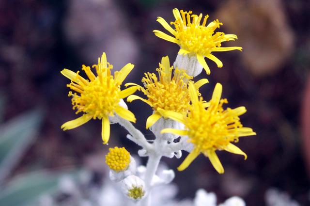 Fleurs : Jacobaea maritima (L.) Pelser & Meijden.
