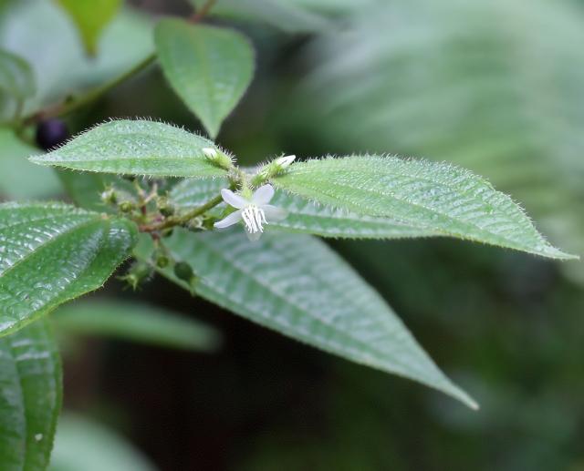 Clidemia hirta (L.) D. Don.