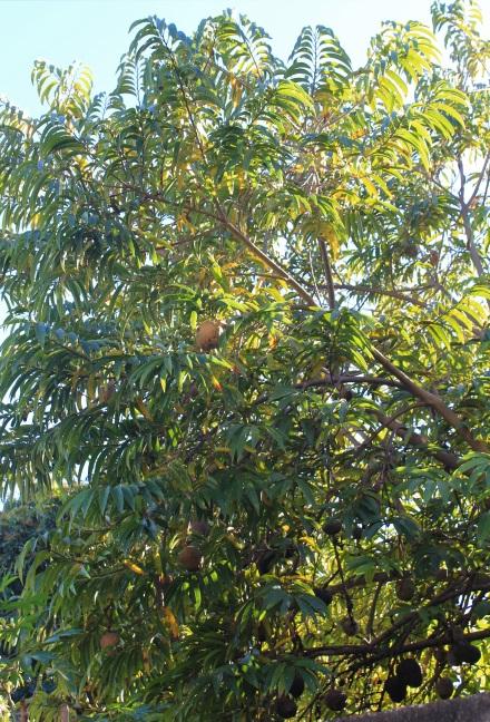 Annona reticulata L