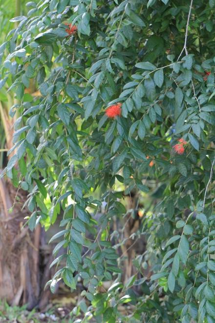 Combretum constrictum (Benth.) Lawson.