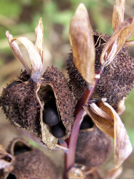 Conflore Canna indica Fruits et graines