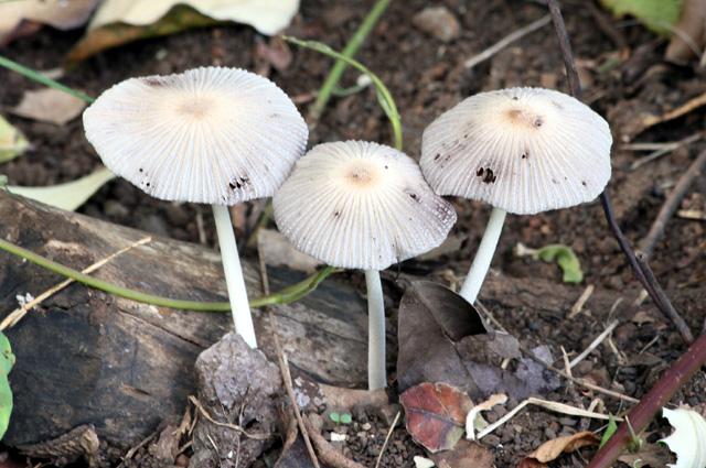 Parasola plicatilis ou Coprinus plicatilis. Coprin plissé