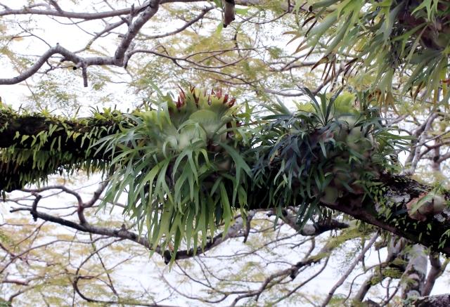Corne de cerf ou corne d'élan. Platycerium alcicorne Desv.
