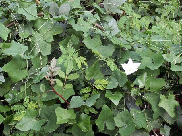 Courge écarlate, Tindola, Coccinia grandis.