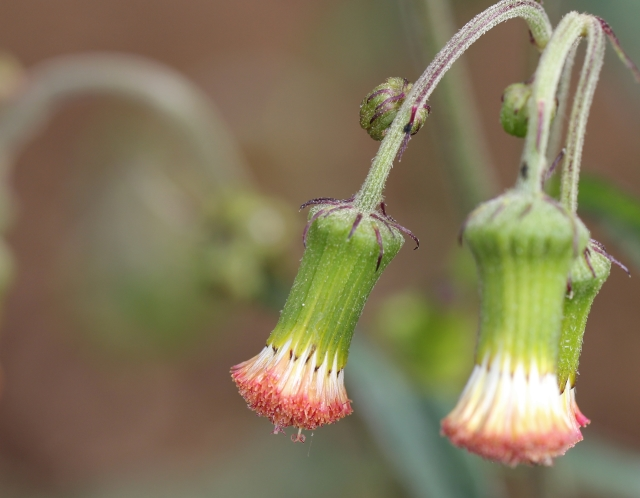 Crassocephalum crepidioides, fleurs.