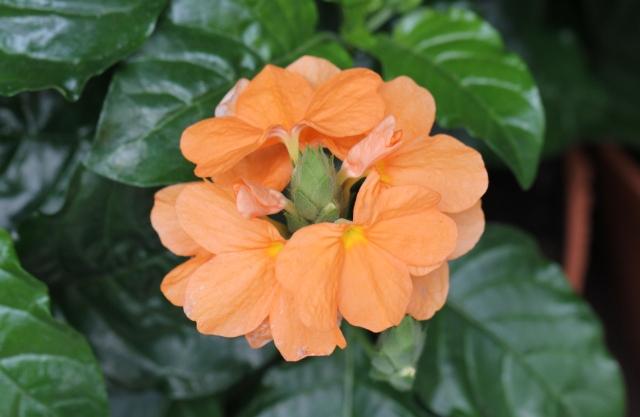 Fleurs Crossandra infundibuliformis.