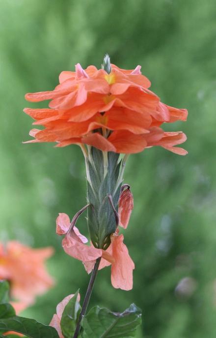 Crossandra infundibuliformis. Fleur de La Réunion.