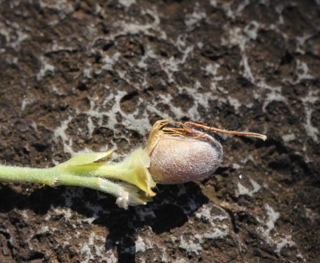 Crotalaria berteroana DC. Gousse.